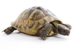 Cómo construir cercas para una tortuga