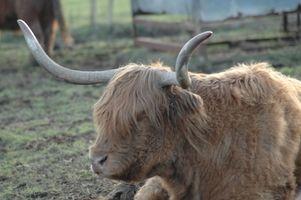Anatomía de cuernos de vaca