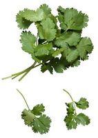 Cómo cocinar con cilantro fresco