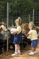 Cómo cuidar de las cabras Boer en Texas