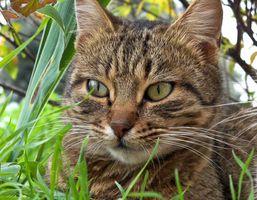 Inglés es la hiedra venenosa para los gatos?