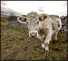 Los signos de embarazo en una vaca