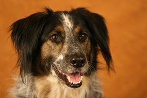 La terapia nutricional para la enfermedad de Cushing canino