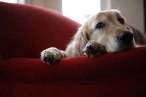 Curación homeopática para cristales en la orina del perro