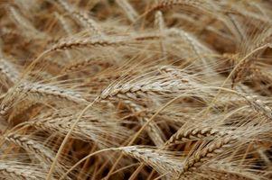 Cómo moler el trigo para hacer pan