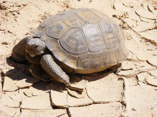 Cómo cuidar a una tortuga de desierto