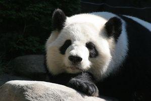 ¿Cuáles son los depredadores de la panda gigante?