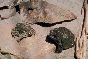 Cómo construir un hábitat Dentro de los sapos