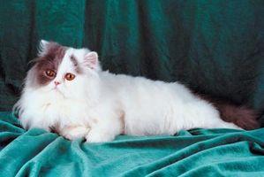 Cómo preparar un gato persa Mujer