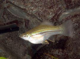 Información acerca del pescado embarazada
