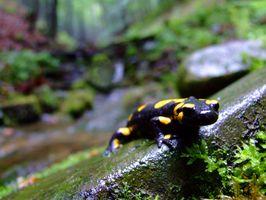 Cómo mantener un tanque limpio Salamandra