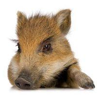 Cómo alimentar a los cerdos mini bebé