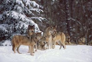 ¿Qué come el lobo gris?