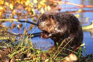 Características de los mamíferos que viven en agua dulce