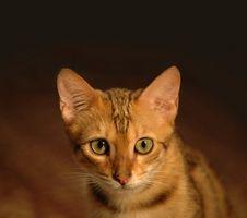 Tratamientos caseros para gatos con leucemia felina y anemia