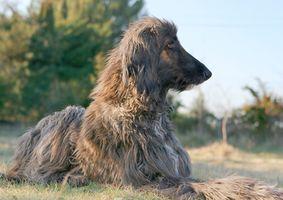 ¿Cómo saber si una raza de perro es bueno