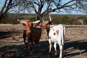 Cómo Crossbreed Longhorn Cattle