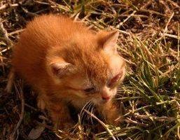 Cómo curar el herpes en los gatos