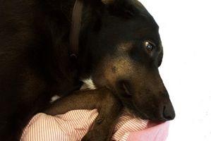 Cómo poner un collar isabelino en un perro