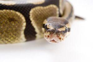 ¿Por qué las serpientes, como para dormir en el agua?