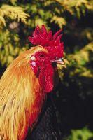 Se usa para tratar lo que les gusta a los gallos Do?