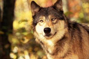 ¿Por qué son los lobos que se extinguen y en peligro de extinción?