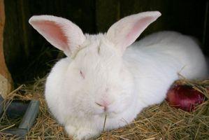 ¿Cómo hacer crecer los conejos para carne
