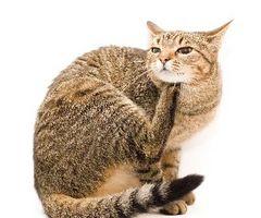 Soluciones naturales caseros para las pulgas en mi gato