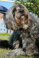 Los remedios caseros Hecho a base de hierbas para los perros con piel con comezón