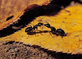 Lo que atrae a las hormigas negras?
