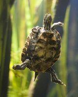 Calidad y temperatura del agua para tortugas mascotas