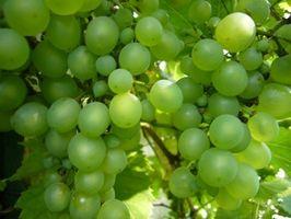 Cómo elegir uvas para hacer su propio vino