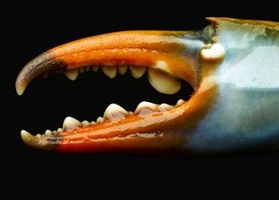 Cómo cocinar pinzas de cangrejo