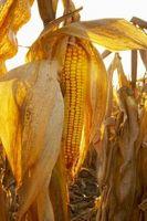 La diferencia entre la patata y del almidón de maíz