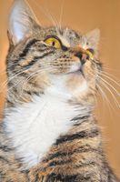 ¿Cómo deshacerse de las pulgas en las orejas de un gato
