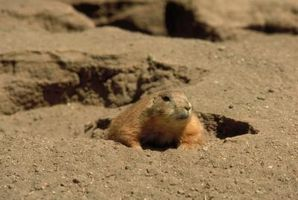 Cómo controlar las marmotas