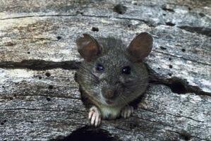 Los roedores que se introducen a través del cemento