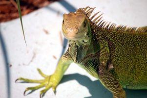 Lo que los reptiles son vegetarianos?