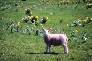 Tipos y razas de lana de las ovejas