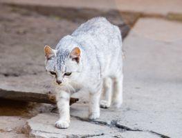 Los síntomas de la artritis en los gatos