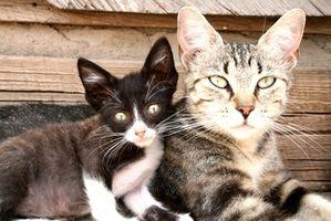 Las causas de la infección del tracto urinario Infecciones en los gatos
