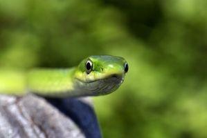 Ciclo de vida de una serpiente verde