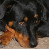 Enfermedades de los ojos inyectados en sangre en los perros