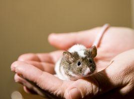 Desarrollo de embriones de ratón