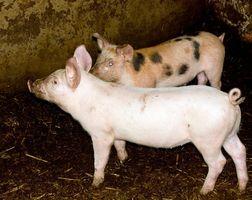 Tipos de jeringas para los cerdos