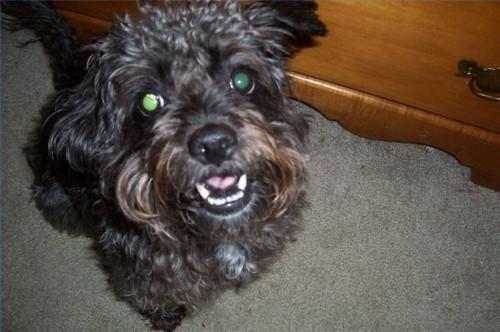 Cómo elegir fuentes de la preparación para un perro de Schnoodle