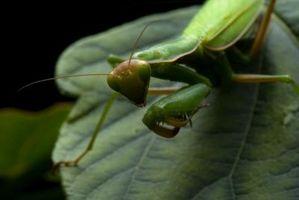 ¿Cómo puedo saber si mi mantis religiosa es la muda?