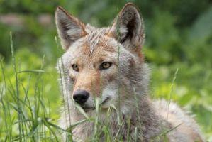 Cómo entrenar a los perros de caza Coyote