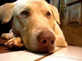 La infección por hongos canina