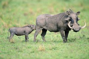 Cómo criar un cerdo salvaje